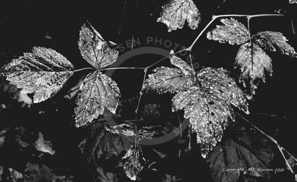 Goldstream Leaves